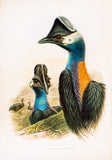 Westermann's Cassowary, Casuarius westermanni, Hand-Colored Lithograph