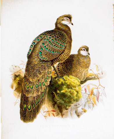 Pheasant from Tibet, Polyplectron thibetanum, Hand-Colored Lithograph
