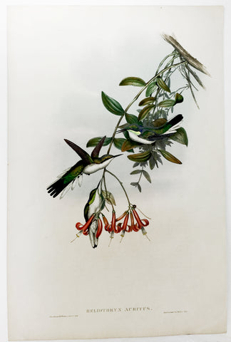 Gould and Richter Cayenne Fairy Hummingbird Hand-Colored Plate