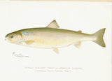 Original Denton Fish Chromolithograph, Female Sunapee Trout or American Saibling