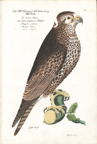 Kestrel Hand-colored Copper Engraving