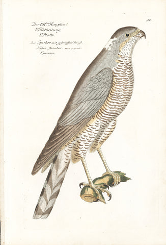Sparrow Hawk Hand-colored Copper Engraving