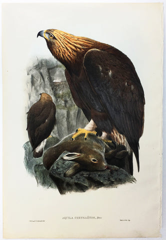 Wolf, Gould, and Richter Golden Eagle Hand-Colored Plate