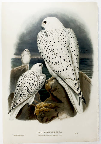 Wolf, Gould, and Richter Greenland Falcon Hand-Colored Plate