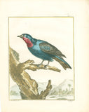Grive d'Amérique nommée Quereiva (American thrush) Hand-Colored Plate with complete text