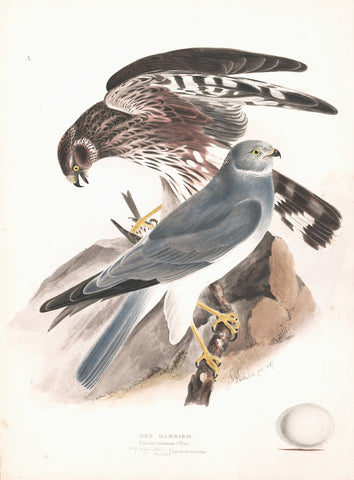 Hen Harrier (Circus cyaneus) Hand Colored Plate