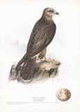Honey Buzzard (Pernis apivorus) Hand Colored Plate