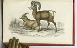 Mammalia: Deer, Antelopes, Camels, etc. + Mammalia: Goats, Sheep and Oxen, etc. (The Naturalist's Library, volumes XXI + XXII), in 2 volumes, complete