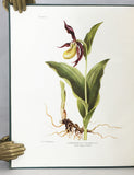Monograph and Iconograph of Native British Orchidaceae
