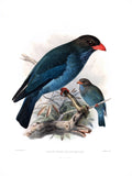Indian Broad-Billed Roller Hand-Colored Plate