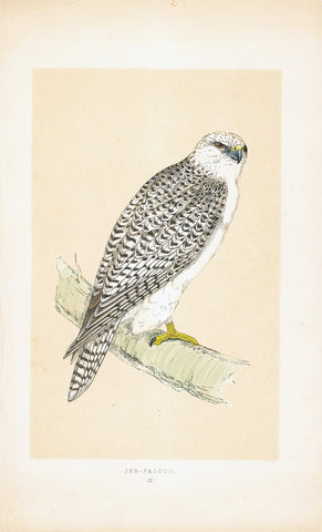 Jer Falcon Hand-Colored Plate