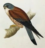 Gould Lesser Kestril (kestrel) Hand-Colored Plate