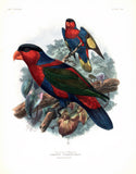 The Lory of Mysore Hand-Colored Plate
