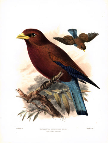 Madagascar Broadbilled Roller (Eurystomus glaucurus) Hand-Colored Plate