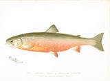 Original Denton Fish Chromolithograph, Male Sunapee Trout or American Saibling