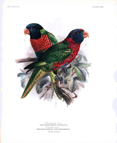 Massena's Lory and Gray's Lory Hand-Colored Plate