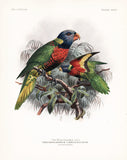 Blue-Headed Lory Hand-Colored Plate