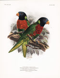 Green-naped Lory and Dark-throated Lory Hand-Colored Plate