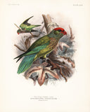 Grey-Footed Lory (Ptilosclera versicolor) Hand-Colored Plate