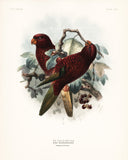 Cherry-Red Lory (Eos rubiginosa) Hand-Colored Plate