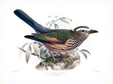 Olive Crowned Roller (Coracias mosambicanus) Hand-Colored Plate