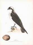 Osprey (Aquila haliaetus) Hand Colored Plate