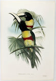 Gould and Richter Prince Max's Aracari Hand-Colored Plate
