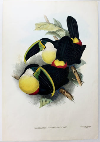 Gould and Richter Citreolaemus Toucan Hand-Colored Plate