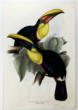 Gould Swainson's Toucan Hand-Colored Plate