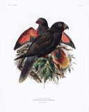 The Red Quilled Lory Hand-Colored Plate