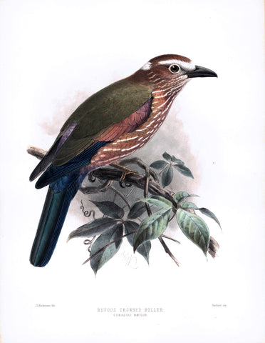 Rufous Crowned Roller (Coracias naevius) Hand-Colored Plate
