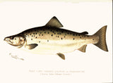Original Denton Fish Chromolithograph, Male Land Locked Salmon or Ouananiche