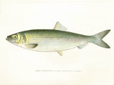 Original Denton Fish Chromolithograph, Sea Herring (Clupea harengus Linnaeus)