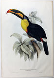 Gould Sharp-billed Toucan Hand-Colored Plate