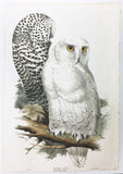 Edward Lear Snowy Owls Hand-Colored Plate