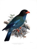 Solomon Island Broad-Billed Roller Hand-Colored Plate