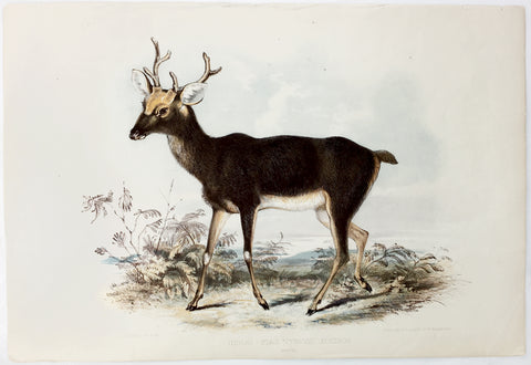 Waterhouse Hawkins Indian Stag Hand-Colored Plate