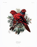 Wallace's Lory Hand-Colored Plate