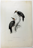 Gould Brown-fronted Woodpecker Hand-Colored Plate