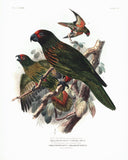 The Yellow-streaked Lory and the Green-streaked Lory Hand-Colored Plate