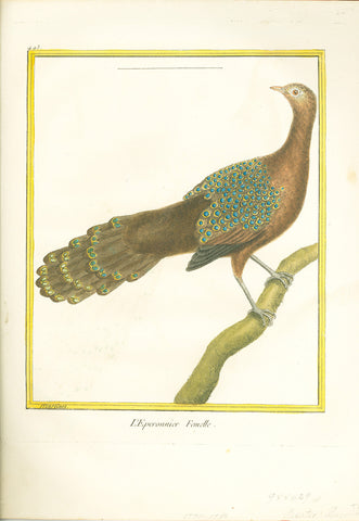 L'Eperonnier Femelle (Asiatic Peacock) Hand-Colored Plate