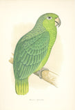 Mealy Amazon (Parrot) Hand Colored Plate