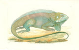 Great American Guana Hand Colored Plate