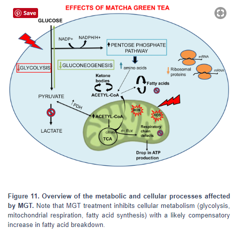 Matcha inhibits cancer diagram