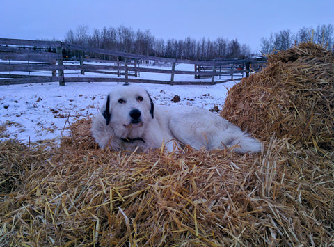 Yogi on the straw pile