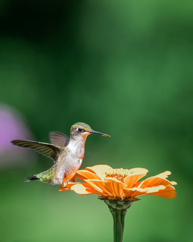 How to Feed and Attract Hummingbirds to Yard