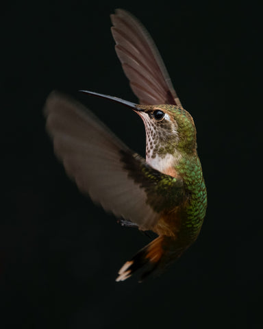 Hummingbirds and Where They Go In the Winter