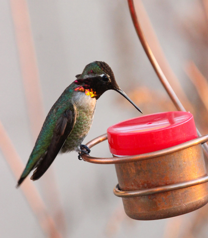 Where and How long do hummingbirds live?