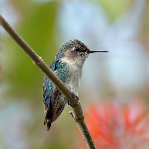 Smallest Hummingbird