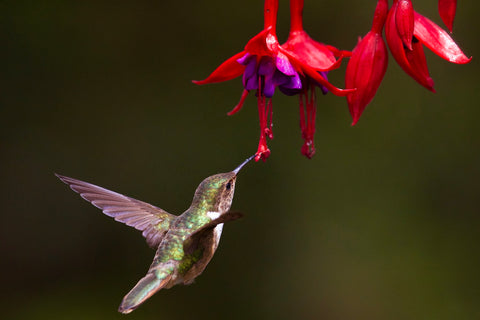 How long do hummingbirds live
